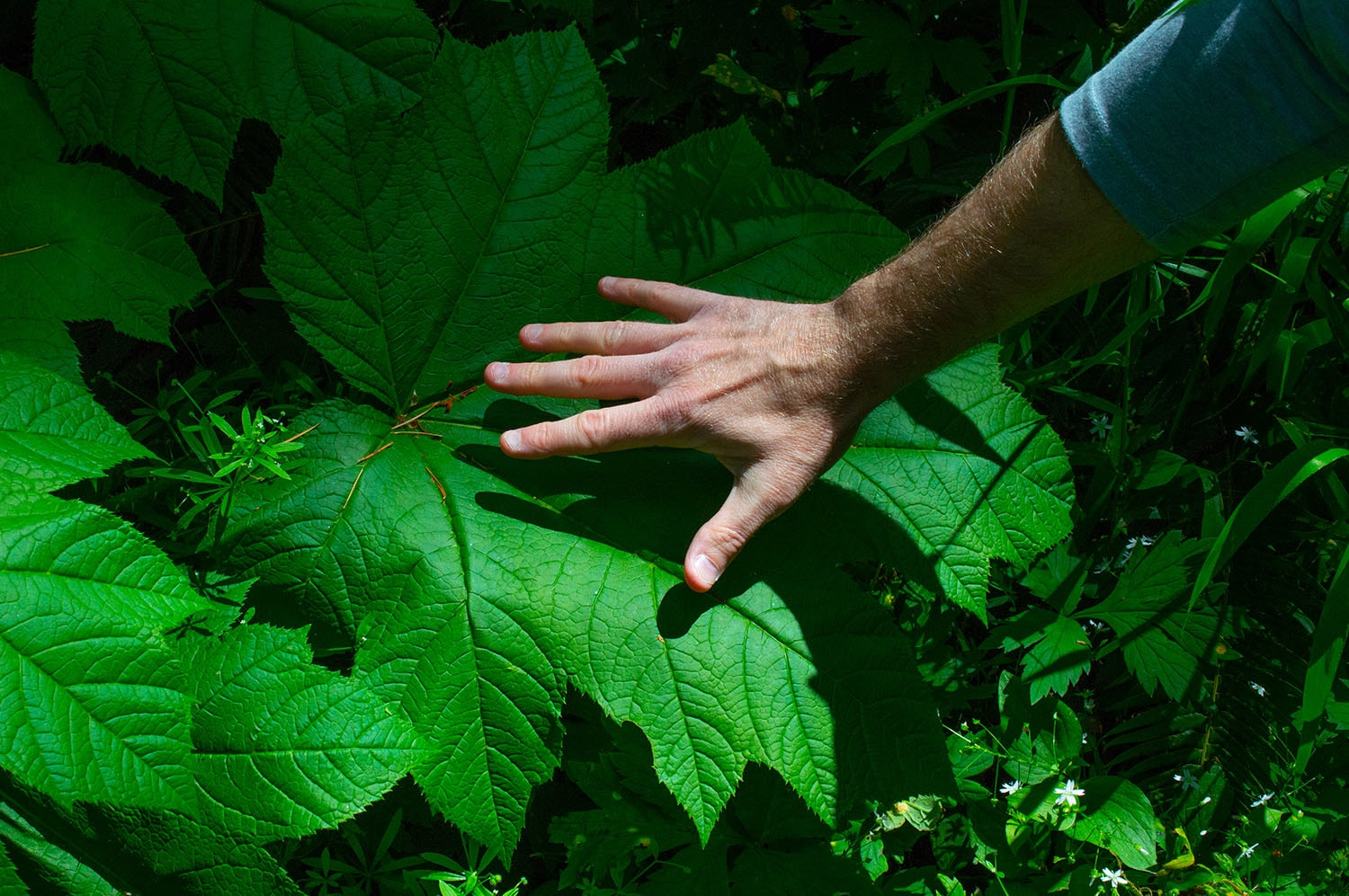 Giant Leaves