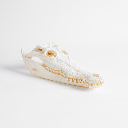 Small Farmed Crocodile Skull 25-30Cm