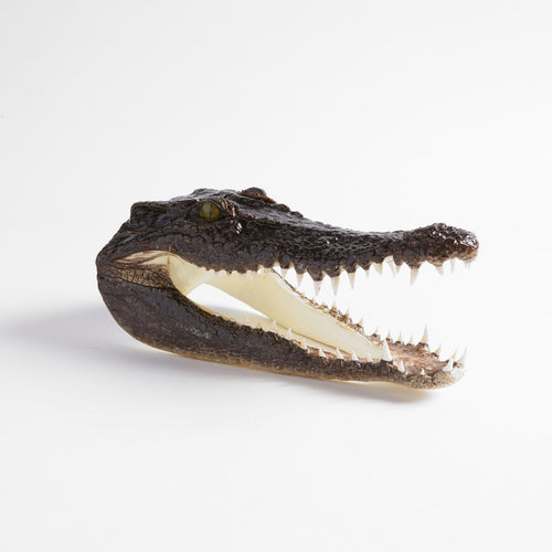 Taxidermy Saltwater Crocodile Head