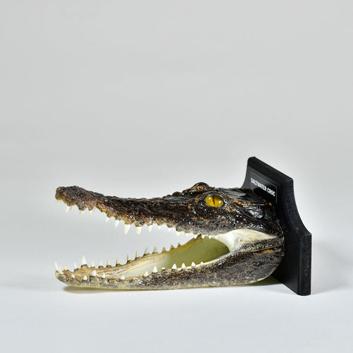 Taxidermy Saltwater Crocodile Head with Plaque