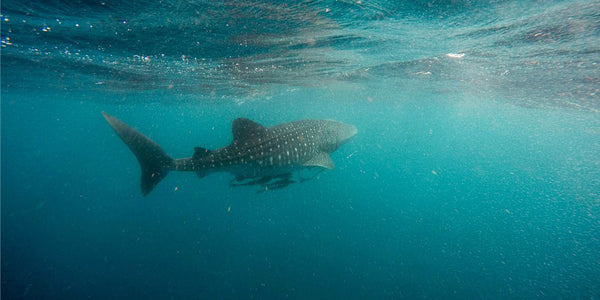 10 Best Reasons to go Whale Shark Watching in Oslob