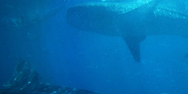 An Encounter with Whale Sharks aka Butanding