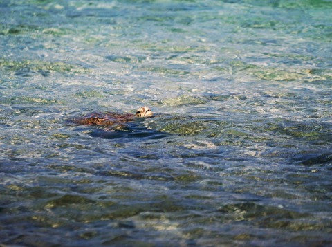 Sea Turtle watching Moalboal Philippines