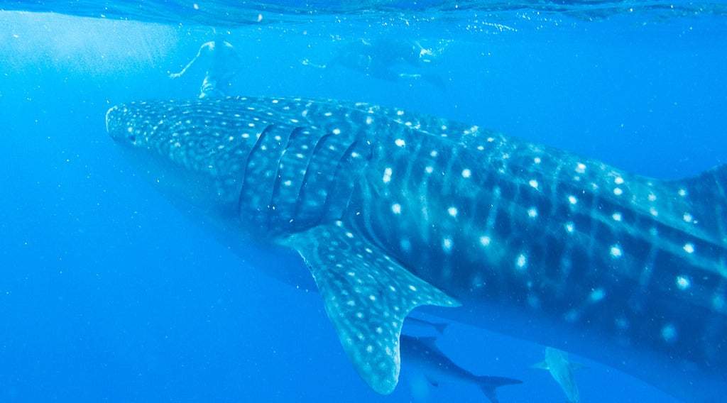 A Whale Shark is seen with tourists swimming in the background.