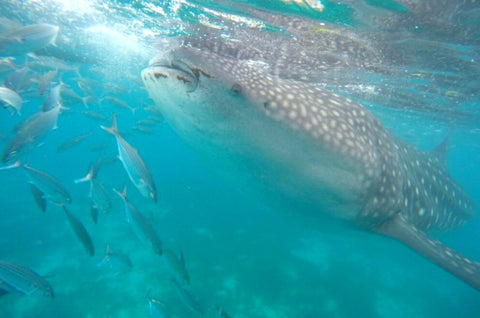 Whale Shark tour packages philippines