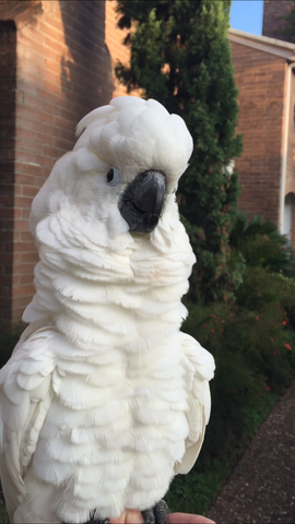 Fluffy puffy cockatoo