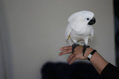 Cute cockatoo on hand