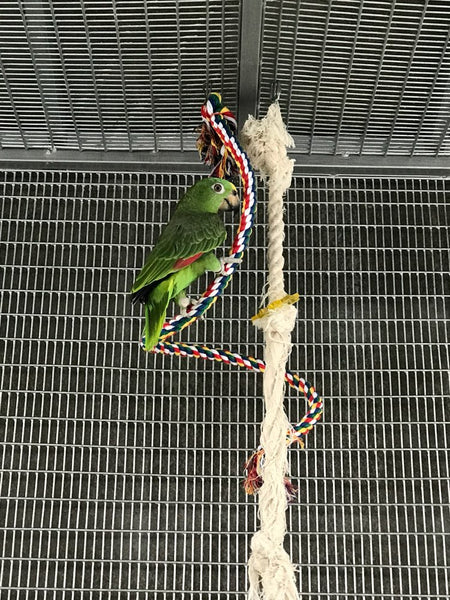 Amazon parrot on rope toy