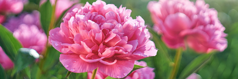 The Simple Secret To Extending Peony Blooming In Your Garden Easy To Grow Bulbs