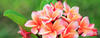 How to Grow Gorgeous Plumeria