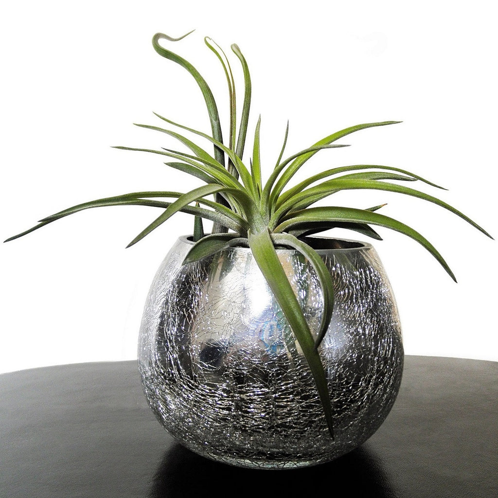 Tillandsia - How to Care for Air Plants