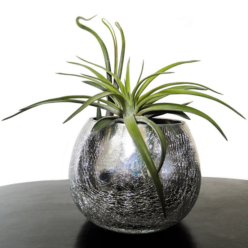 Tillandsia How To Care For Air Plants Easy To Grow Bulbs