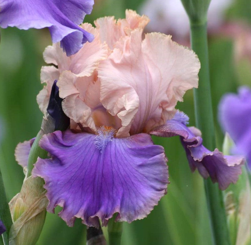 5 Exciting New Reblooming Bearded Iris for Fall 2017!