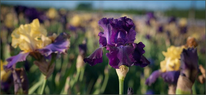 Bearded Iris-Everything You Need to know