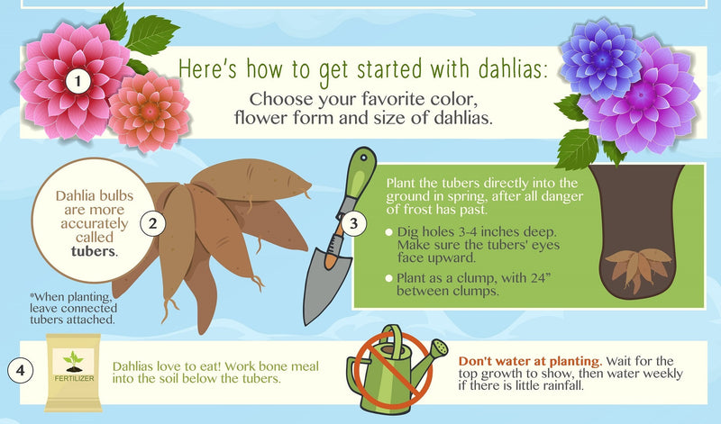 Planting Dahlias Perfectly An Infographic Easy To Grow Bulbs