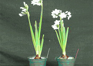 Pickling Paperwhites