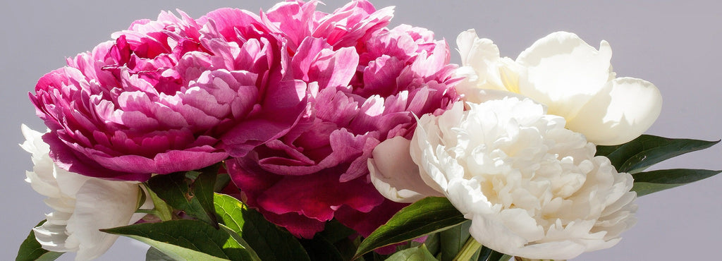How To Plant Grow And Care For Peonies In Your Garden Easy To