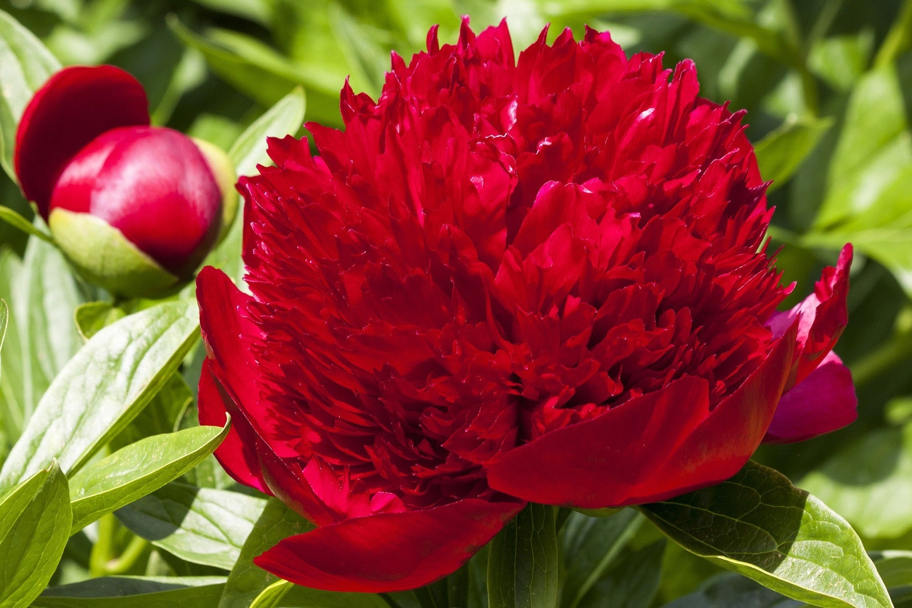 """Red"" Peonies"