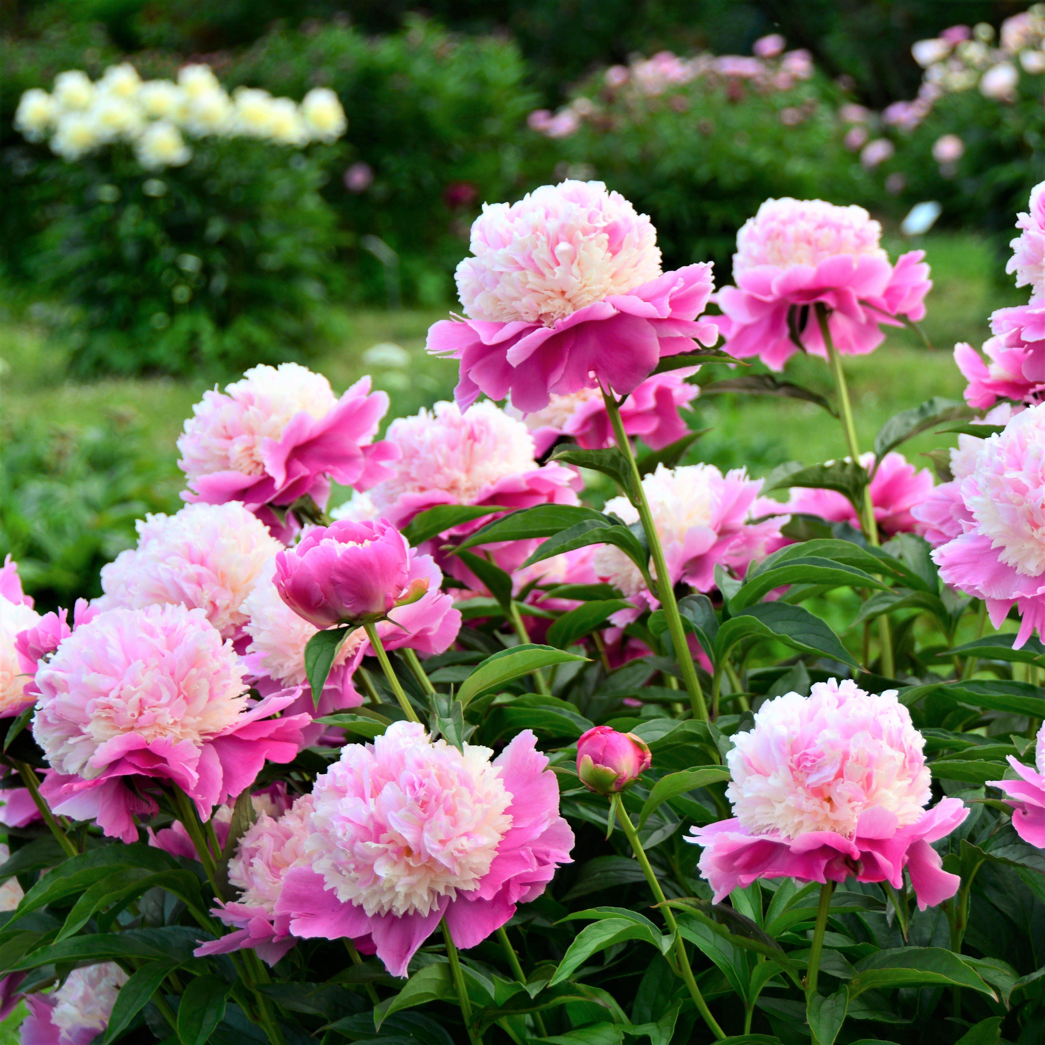 2 Peony Bulbs Very Fragrant Strong Stems and Great Cut Flower and Deer Resistant