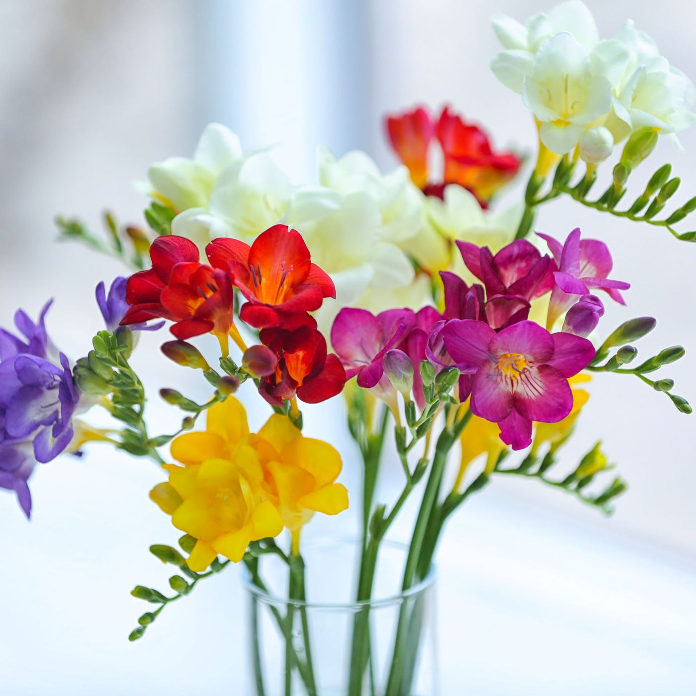 Buy freesia bulbs for sale easy to grow bulbs freesia izmirmasajfo