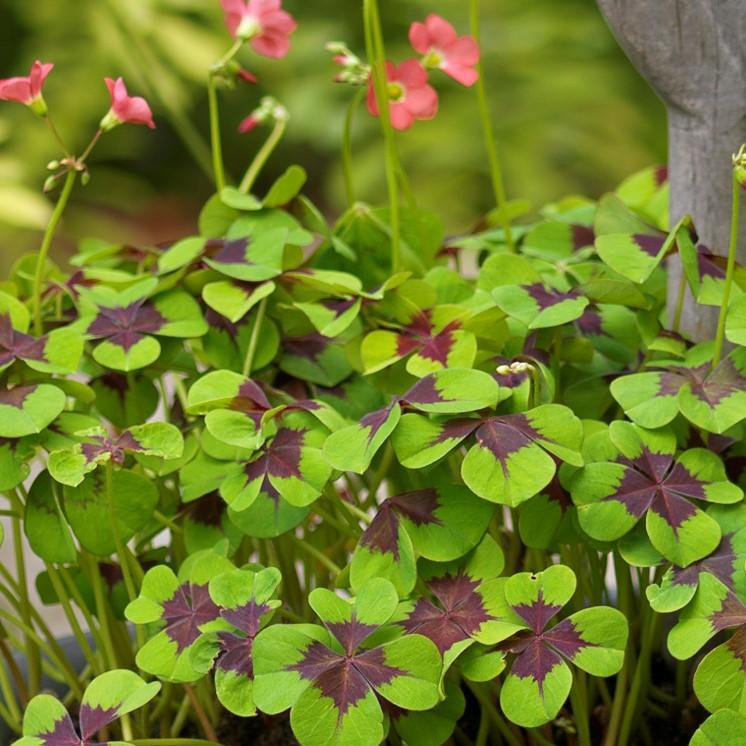 Oxalis (Shamrocks) Bulbs