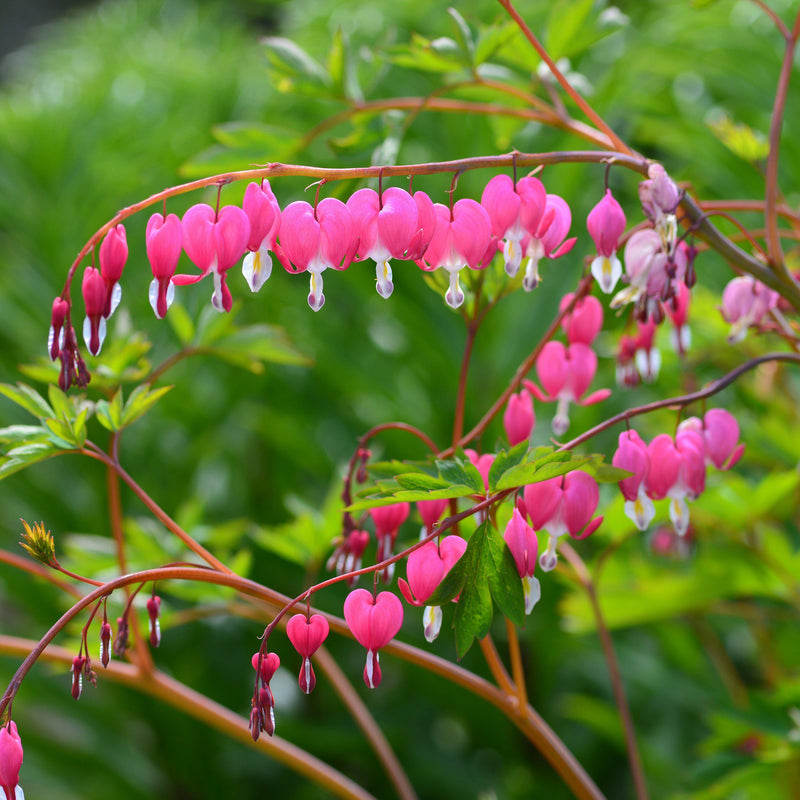 Bleeding Hearts (Dicentra)
