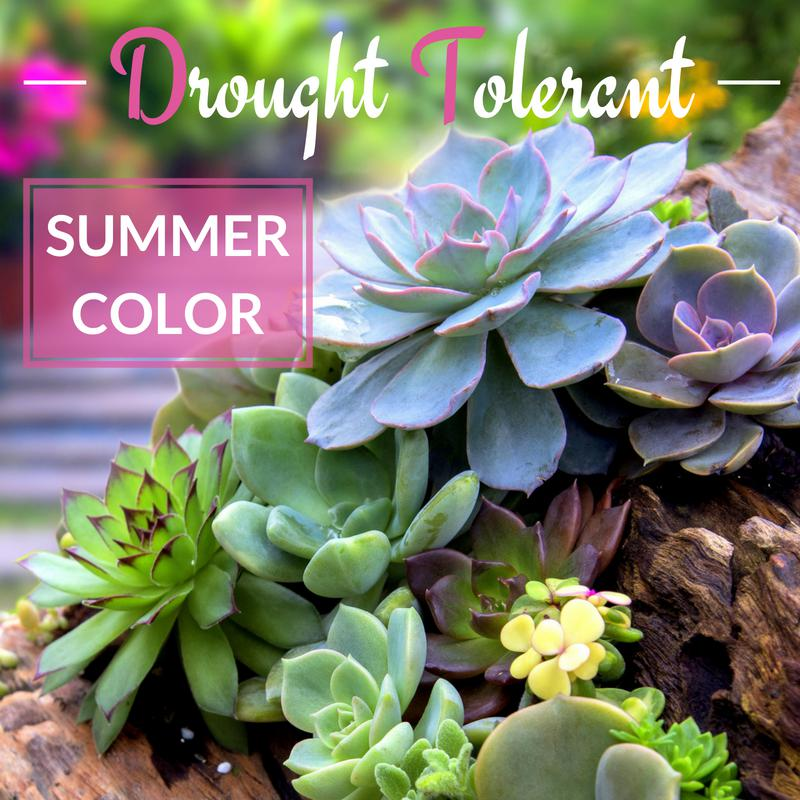 Drought Tolerant Summer Color