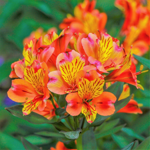 Beautiful Peruvian Lily Alstroemeria Plants For Sale Online Easy To Grow Bulbs