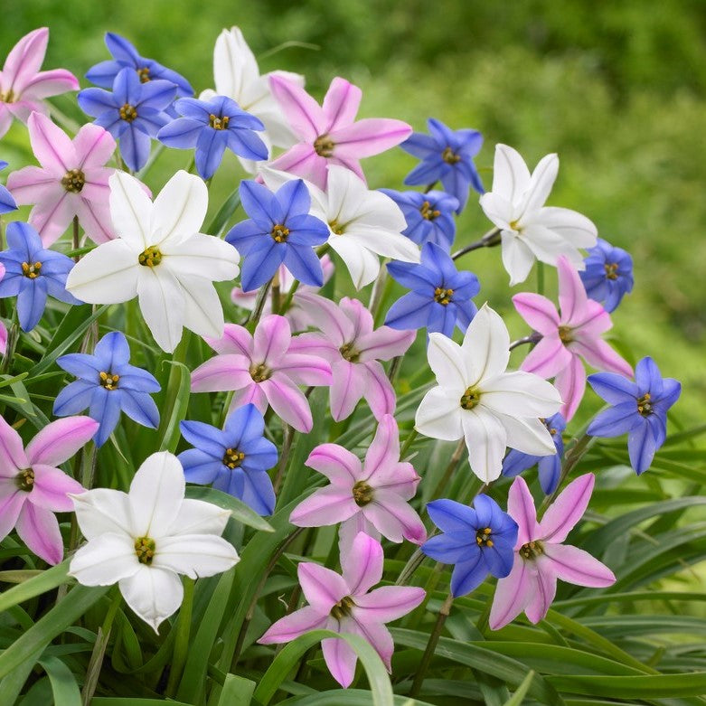 Starflowers (Ipheion) Bulbs