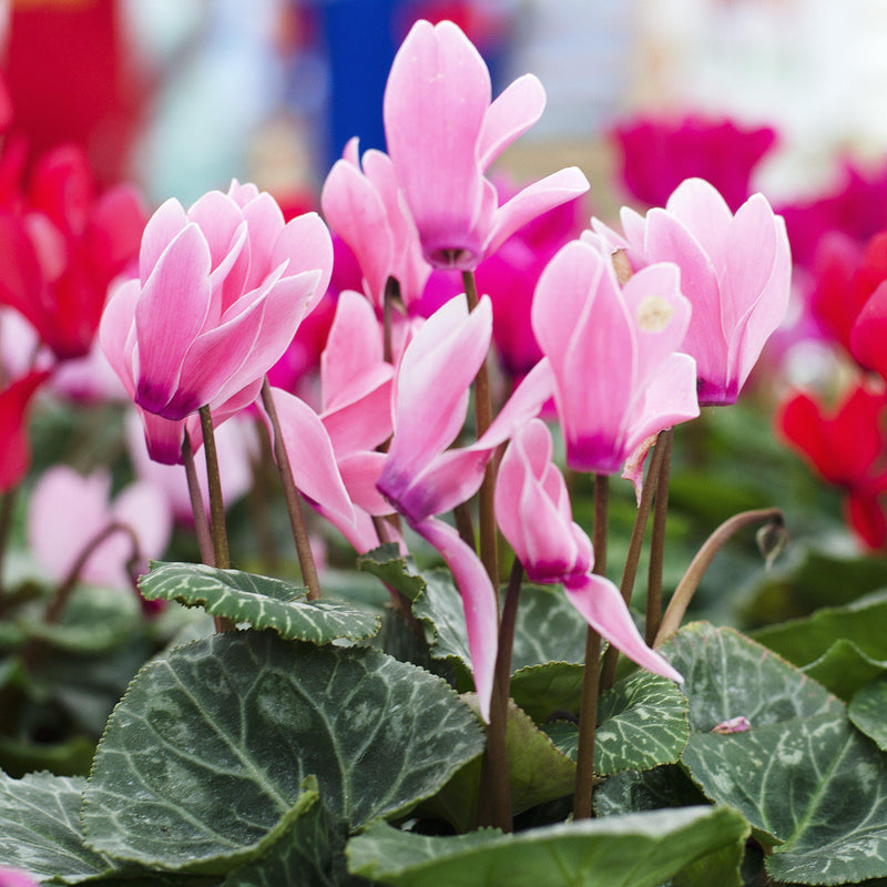 Cyclamen Bulbs