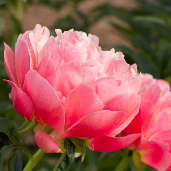 Peonies (Fall Planting)