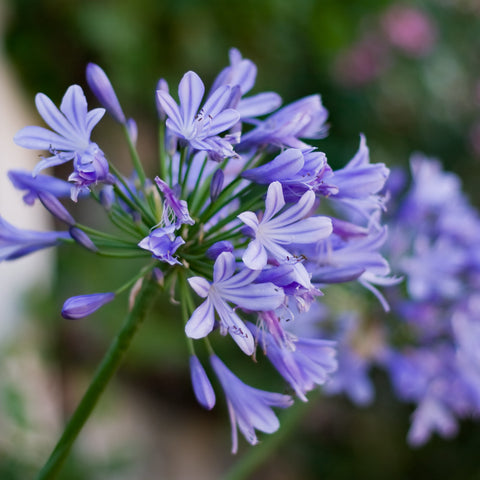 Agapanthus Planting Guide Easy To Grow Bulbs