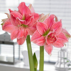 Amaryllis Sweet Nymph for Sale