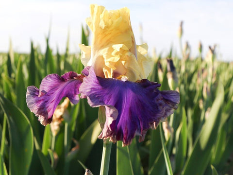 Re-Blooming Bearded Iris