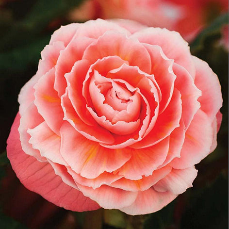 How correctly to plant tubers begonia