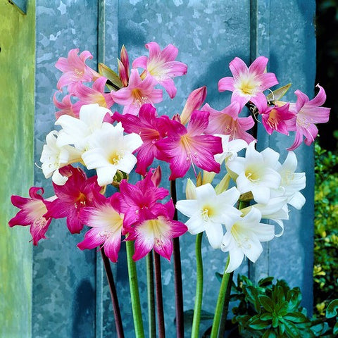 Belladonna Lily Planting Guide