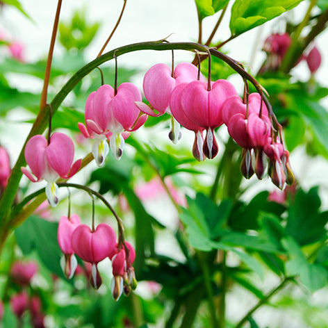 Bleeding Hearts Planting Guide Easy To Grow Bulbs