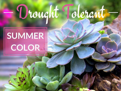 Drought Tolerant Plants & Bulbs