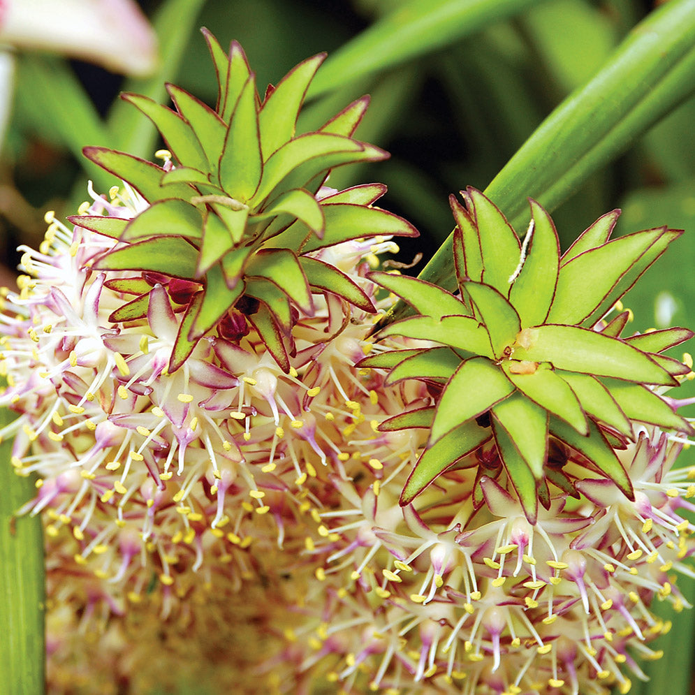 Pineapple lilyeucomis planting guide easy to grow bulbs flowers come in lots of shapes and forms these remind us of crazy little dr seusse characters with their spiky top tufts and colorful clusters of tiny izmirmasajfo
