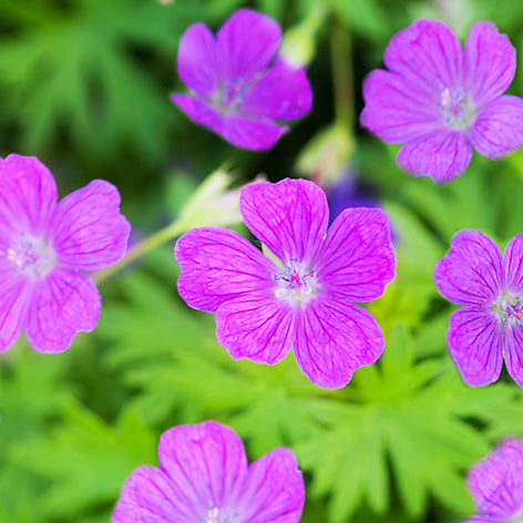 Geranium hardy planting guide easy to grow bulbs geranium hardy planting guide mightylinksfo