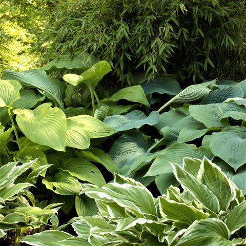 Hostas Planting Guide Easy To Grow Bulbs