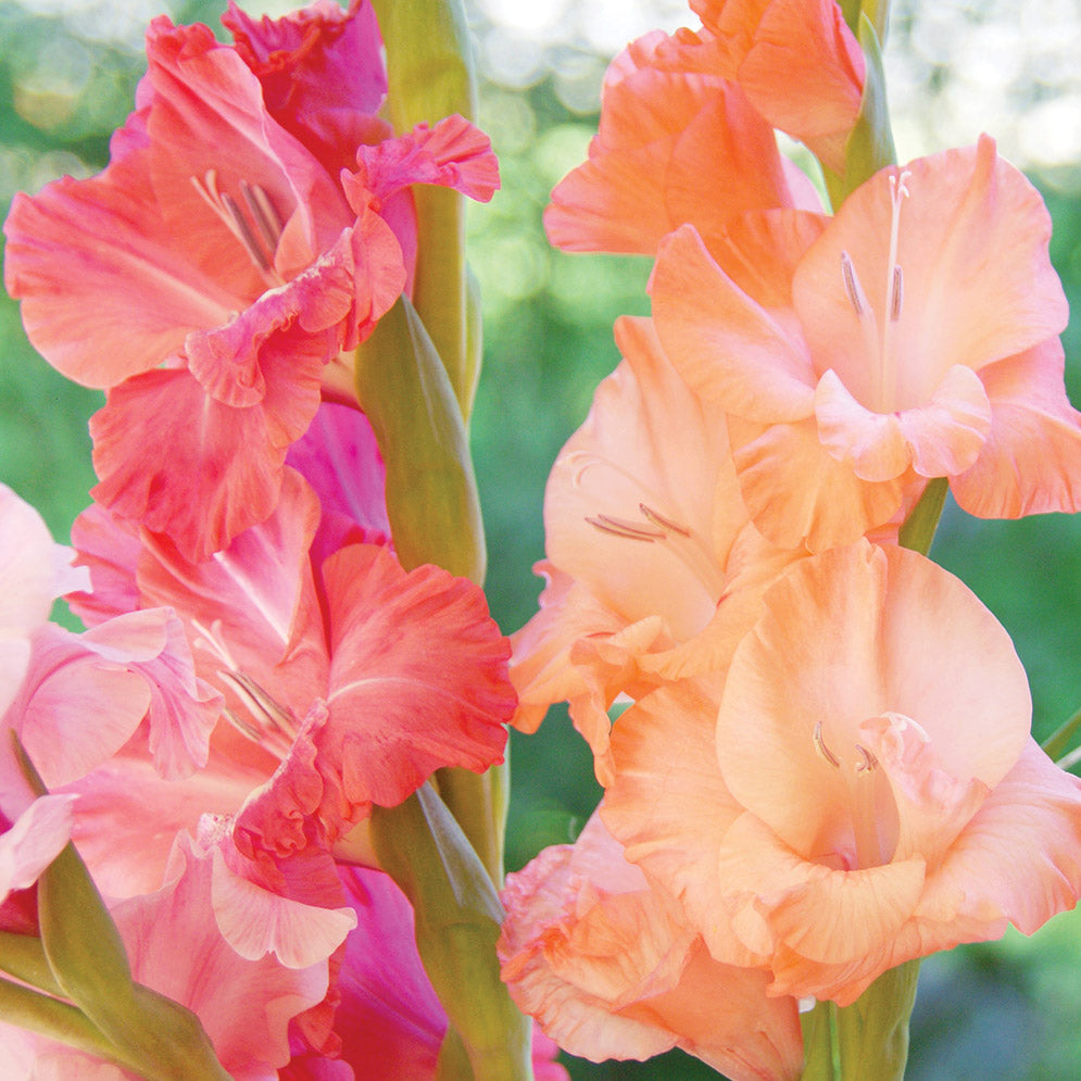 Gladiolus Planting Guide Easy To Grow Bulbs