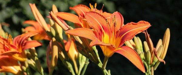 Hemerocallis Fulva - an invasive daylily identification