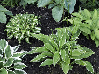 HOSTA BUMPER CROP