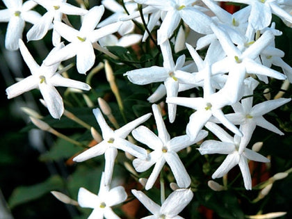 Jasmine Officinale Vine