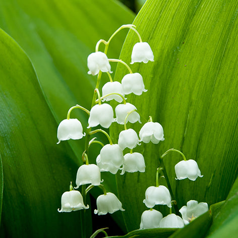 Lily Of The Valley By