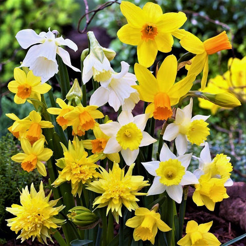 More Interesting Than Food Narcissus >> Daffodil Bulbs Planting Guide Easy To Grow Bulbs