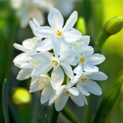 How To Plant Care For Paperwhite Bulbs Easy To Grow Bulbs Easy