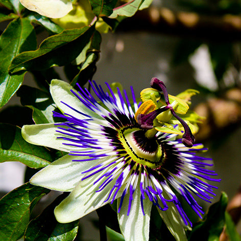 Passionflower Planting Guide – Easy To Grow Bulbs