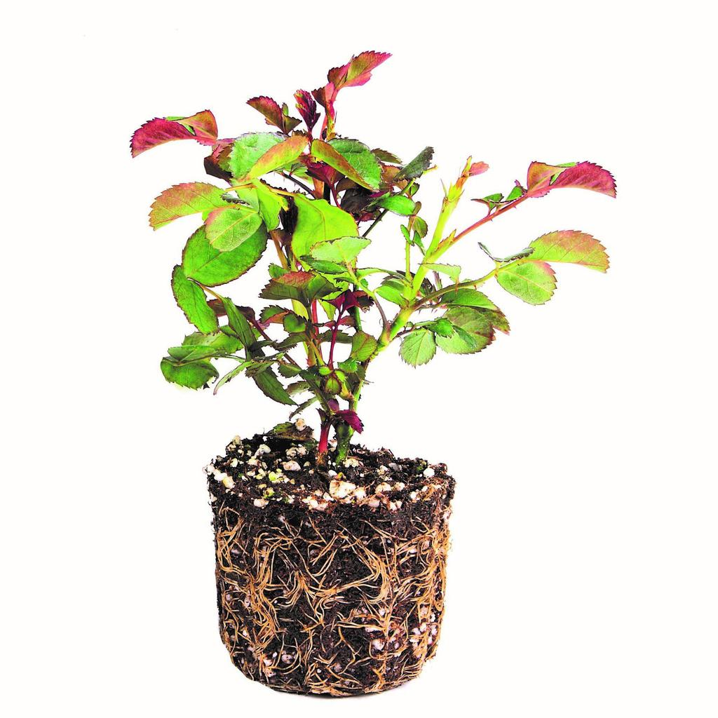 Knock Out Rose Plants for Sale